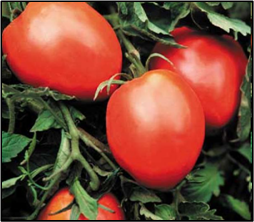 Click to enlarge Amish Paste Heirloom Tomato Seedling
