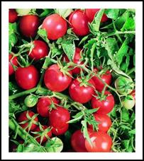 Click to enlarge Amish Salad Heirloom Cherry Tomato Seedling