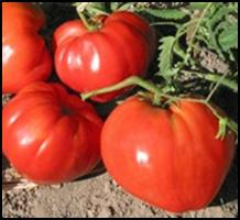 Click to enlarge German Red Strawberry Heirloom Tomato Seedling
