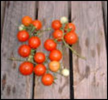 Click to enlarge Sugar Lump Heirloom Cherry Tomato Seedling
