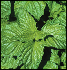 Click to enlarge Basil Seedling, Napoletano variety