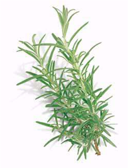 Click to enlarge Rosemary Seedling, Salem variety