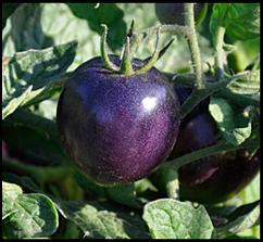Click to enlarge Indigo Rose Heirloom Tomato Seedling