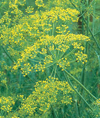 Click to enlarge Dill Seedling, Bouquet variety