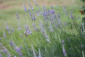 Click to enlarge Lavender Seedling, Provence variety