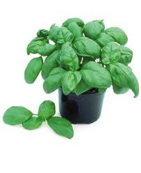 Click to enlarge Basil Seedling, Genovese Compact