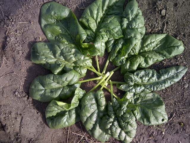 Click to enlarge Spinach Bunch