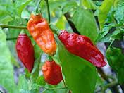 Click to enlarge Ghost (Bhut Jolokia) Hot Pepper Seedling