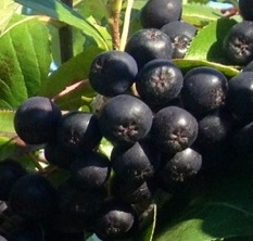 Click to enlarge Organic Aronia Berries