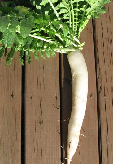 Click to enlarge Daikon Radish - White