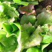 Click to enlarge Leaf lettuce mix