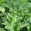 Click to enlarge green kale