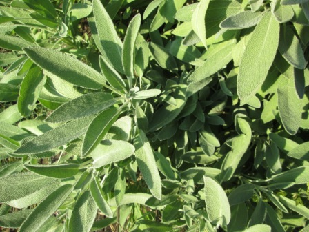 Click to enlarge Fresh Garden Sage Leaves