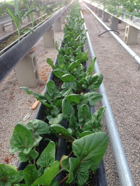 Click to enlarge Spinach 1/2lb bag