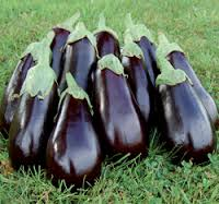 Click to enlarge Florida High Bush Heirloom Eggplant Seedling