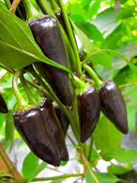 Click to enlarge Jalapeno Hot Pepper Seedling, Purple variety