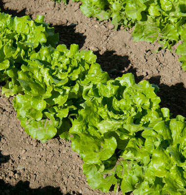 Click to enlarge Head of Lettuce - Green