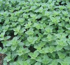 Click to enlarge Oregano Seedling, Spicy variety