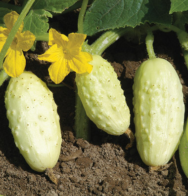 Click to enlarge Cucumber - mini white