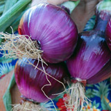 Click to enlarge Onions - red