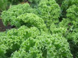 Click to enlarge Certified Organic Curly Leaf Kale