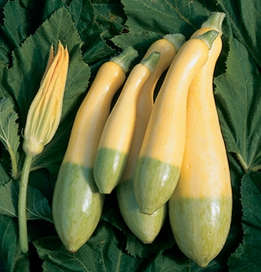 "Click to enlarge Certified Naturally Grown ""Zephyr"" Squash"