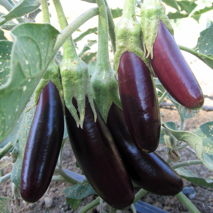Click to enlarge Certified Naturally Grown Little Finger Eggplant