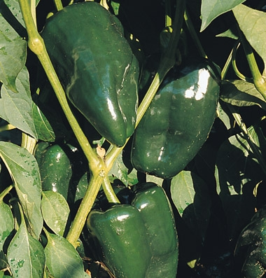 Click to enlarge Certified Naturally Grown Green Peppers