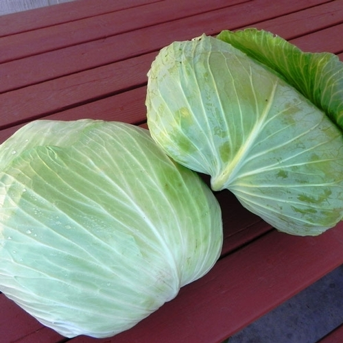 Click to enlarge Large Green Cabbage- Flat Dutch variety