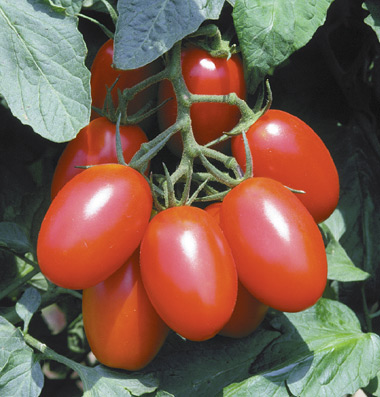 Click to enlarge Certified Naturally Grown Roma Tomatoes