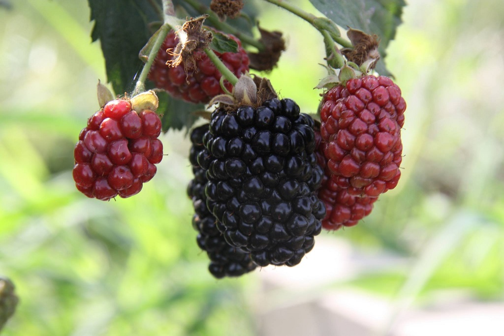 Click to enlarge Fresh Picked Blackberries