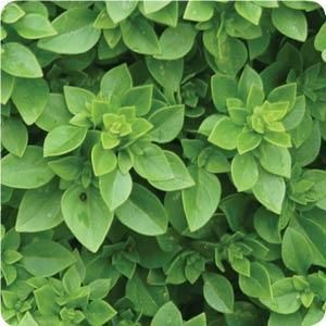Click to enlarge Boxwood Basil, Tiny Leaves 3 oz bunches