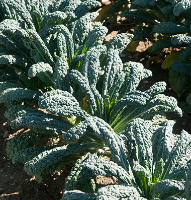 Click to enlarge Certified Naturally Grown Dinosaur Kale