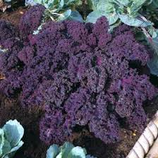 Click to enlarge Certified Naturally Grown Curly Red Kale