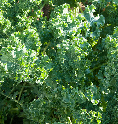 Click to enlarge Curly Kale