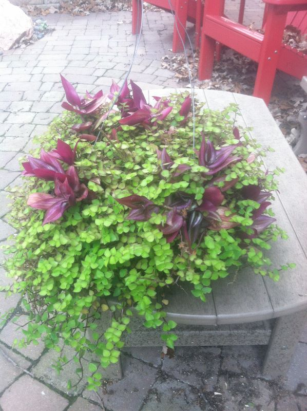 "Click to enlarge ""Wandering Jew"" houseplant - two species in a hanging basket"