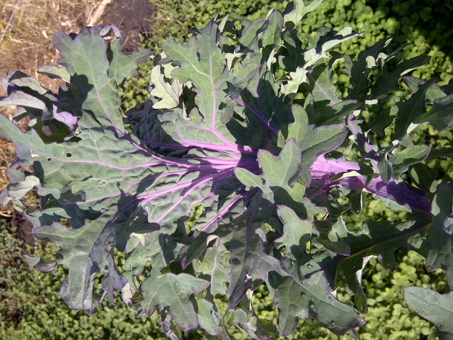 Click to enlarge Red Ursa Kale