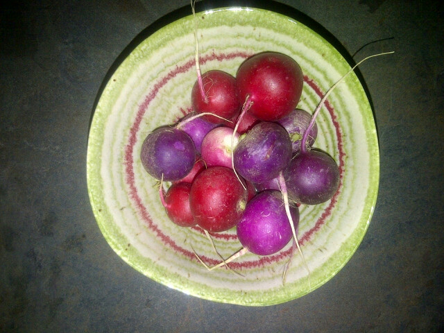 Click to enlarge Certified Organic Radish - Purple/Red mix