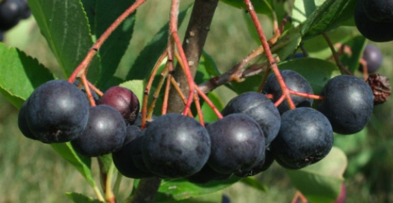 Click to enlarge Frozen Aronia Berries (5 lb)