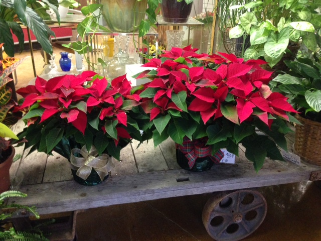 Click to enlarge Large Red Poinsettia