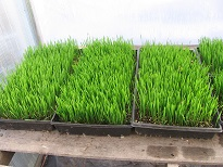 Click to enlarge wheat grass