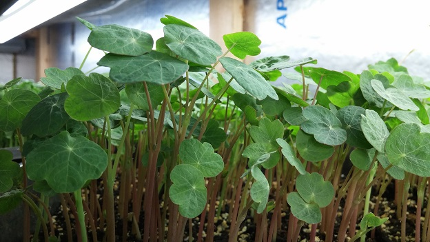 Click to enlarge Nasturtium shoots