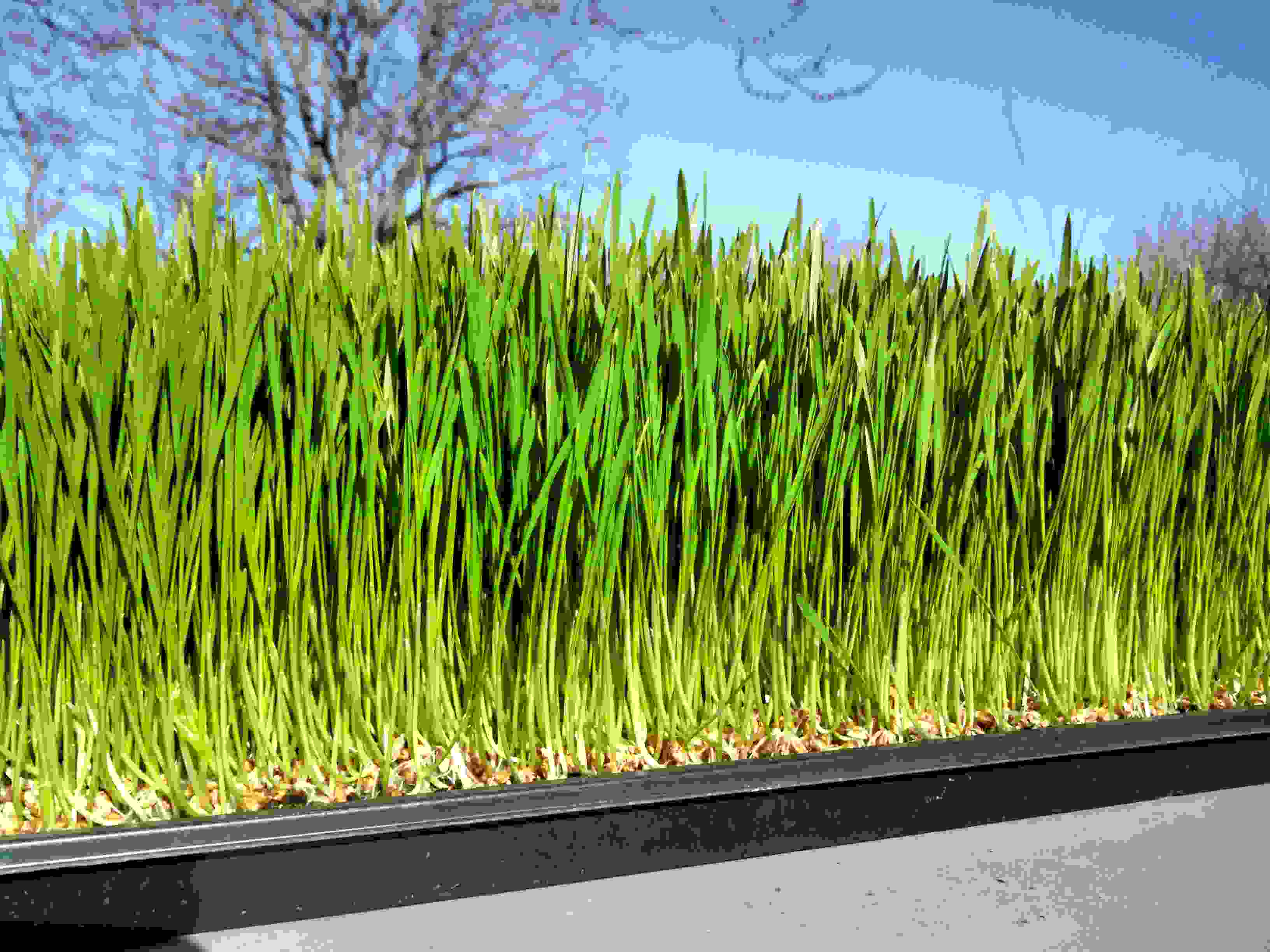 Click to enlarge WheatGrass Full Flat