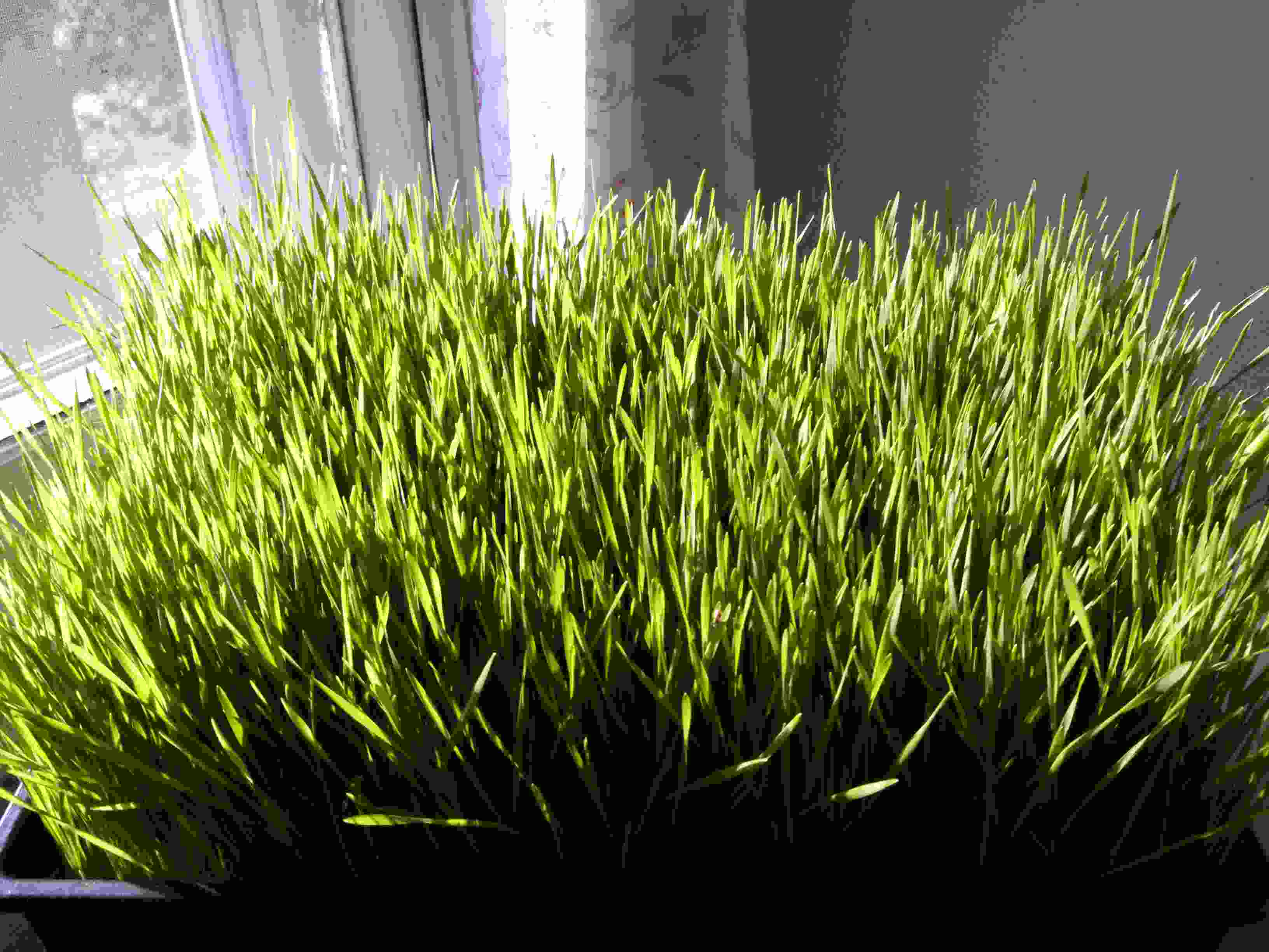 Click to enlarge WheatGrass Half Flat