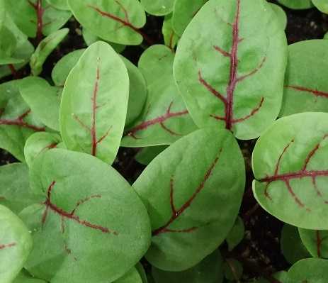 Click to enlarge Red veined sorrel shoots