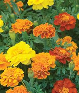 Click to enlarge  Marigold - Burpee's Best Mix