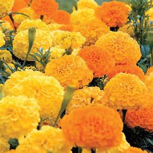 Click to enlarge Marigold - Sunset Giant