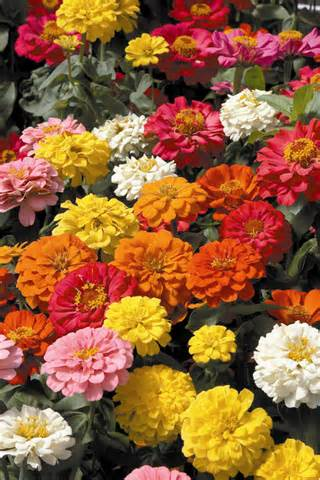 Click to enlarge Zinnia