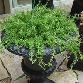 Click to enlarge Rosemary Seedling, Prostratus (Trailing) variety