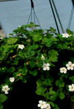 Click to enlarge Bacopa Trailing White Hanging Basket